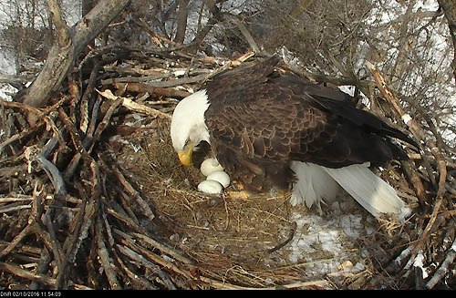 A bald eagle bends over three eggs in a nest.