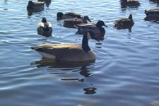 Image of waterfowl in a lake